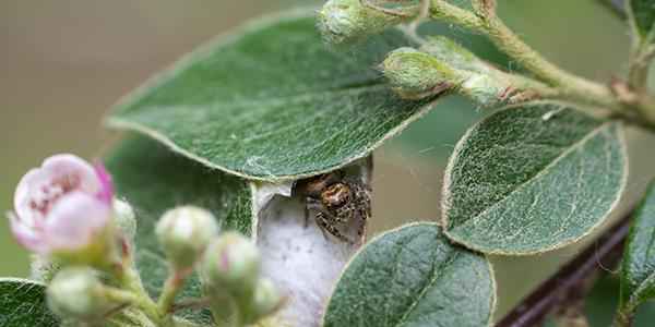 Foto de una araña escondida entre las hojas de una planta, hecha por Jorge Luis Cármenes