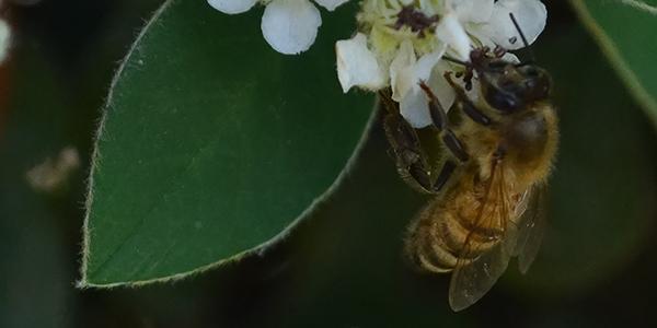 Foto de una abeja en primer plano, hecha por Yesica Rolon